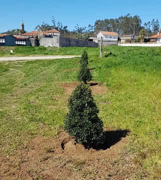 A última plantación realizouse o xoves en Oza